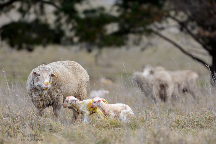Merino ewe with newborn lambs