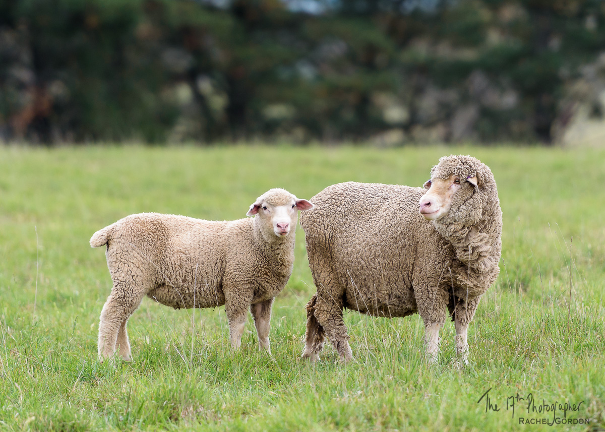 Merino ewe and cross-bred lamb