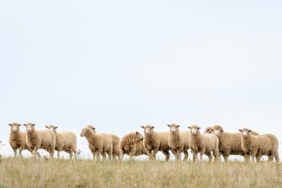 Cross bred lambs