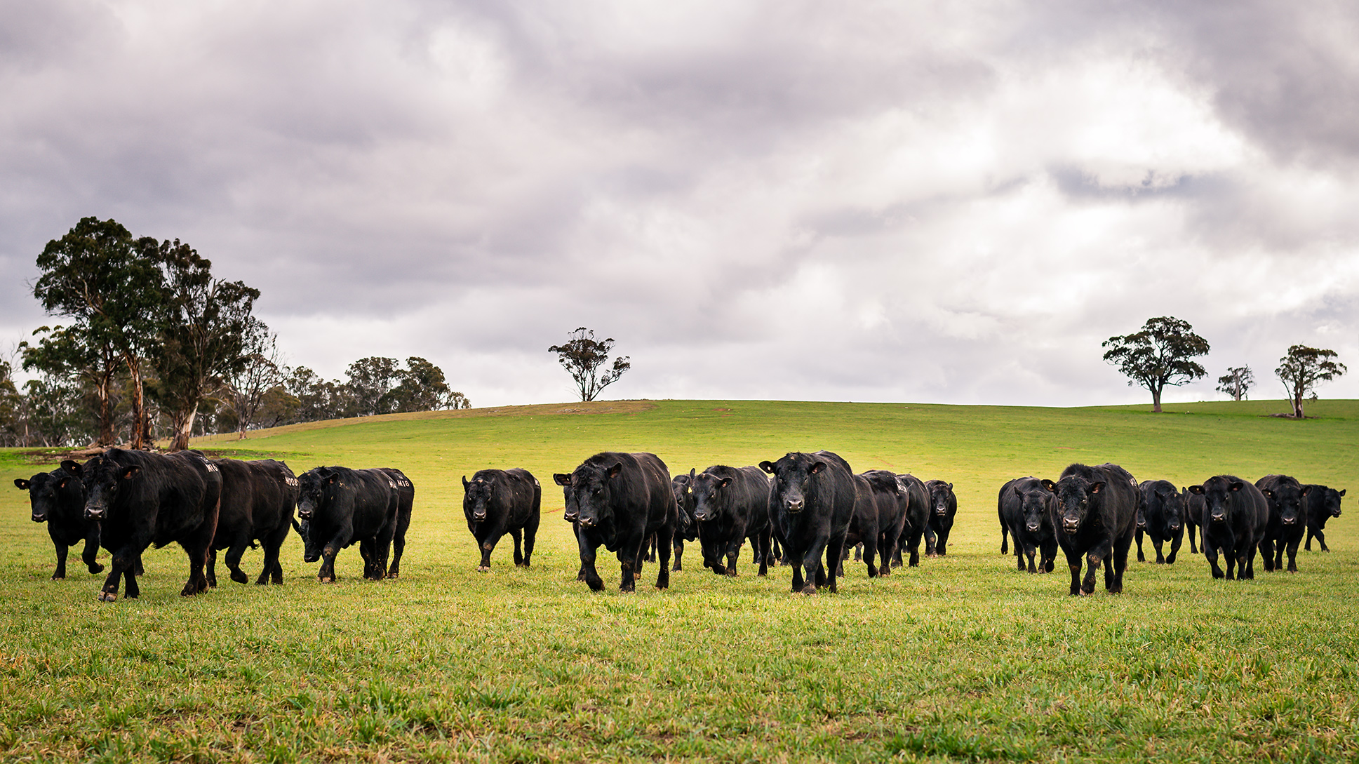 Angus bulls in a paddock