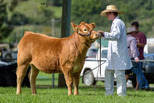 cattle showing