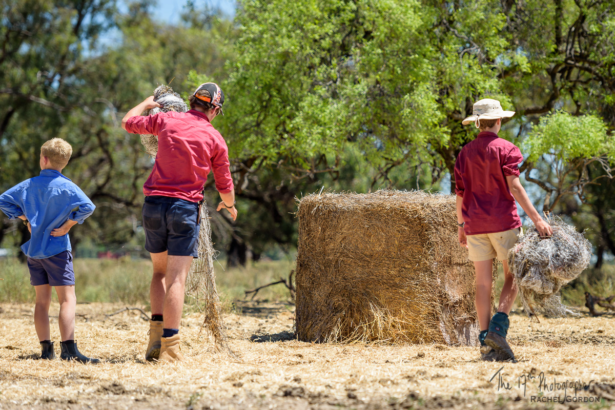 Unwrapping hay bales for cattle