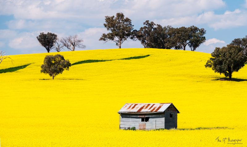 Corrugated iron hut in a field of flowering canola